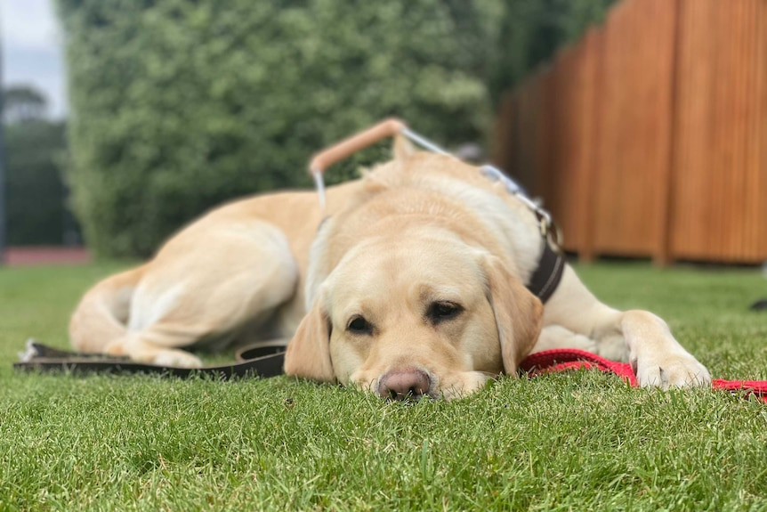 A tired trainee guide dog in harness