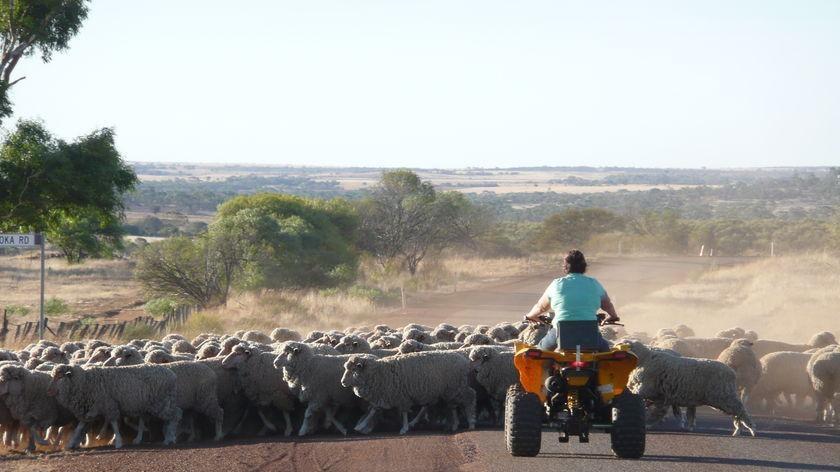 a farmer on a quad bike riding behind a flock of sheep on a road.