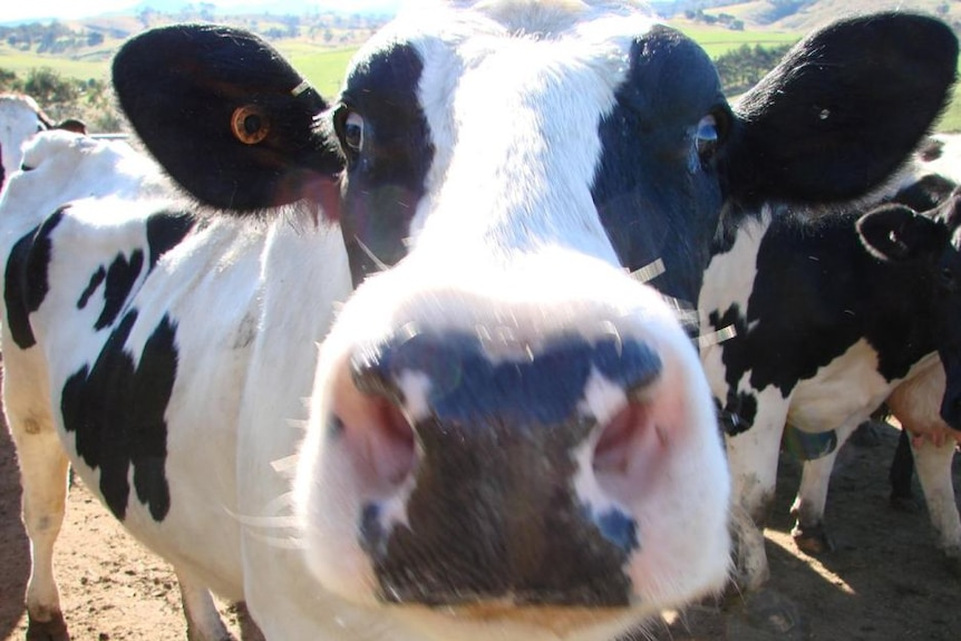 A close-up picture of a dairy cow staring at the camera