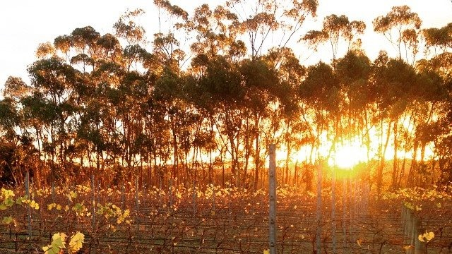 Rows of grape vines with a sun rising in the background