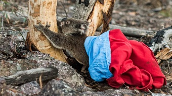 Small koala jumps out of a bag to climb the trunk of a eucalypt tree