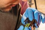 Castro Santana milking the tarantula