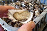 Reporter holds a freshly shucked oyster with a crate of unopened oysters in the background.