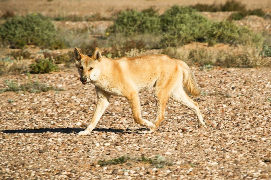 A dingo runs in the outback.