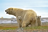 Large bear with two cubs.