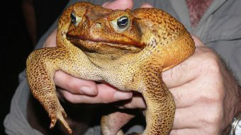 A man holds a large yellow cane toad.