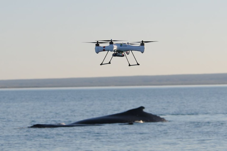 A drone circles above a whale in the Exmouth Gulf.