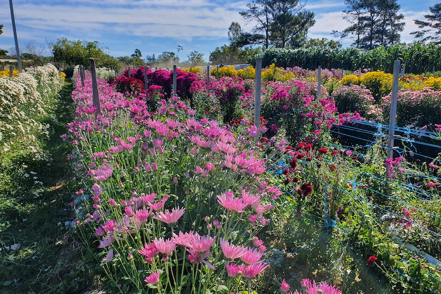 Rows of colourful flowers