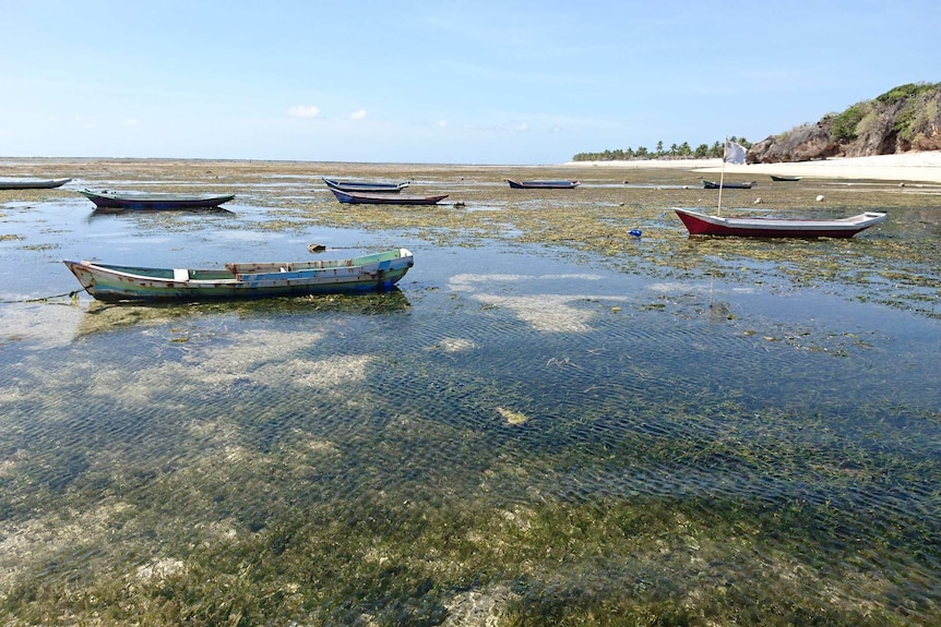 Wooden boats float in waters filled with seaweed near a beach.