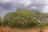 Eucalypt tree native vegetation protected for carbon farming in western New South Wales under a gathering storm cloud