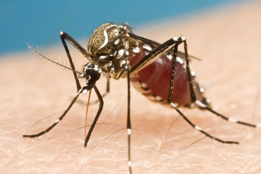 A mosquito sucks blood from someone's forearm
