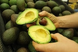 Three avocados cut in half and being held over a pile of avocados.