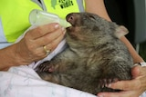 A wombat is fed from a bottle by a woman.