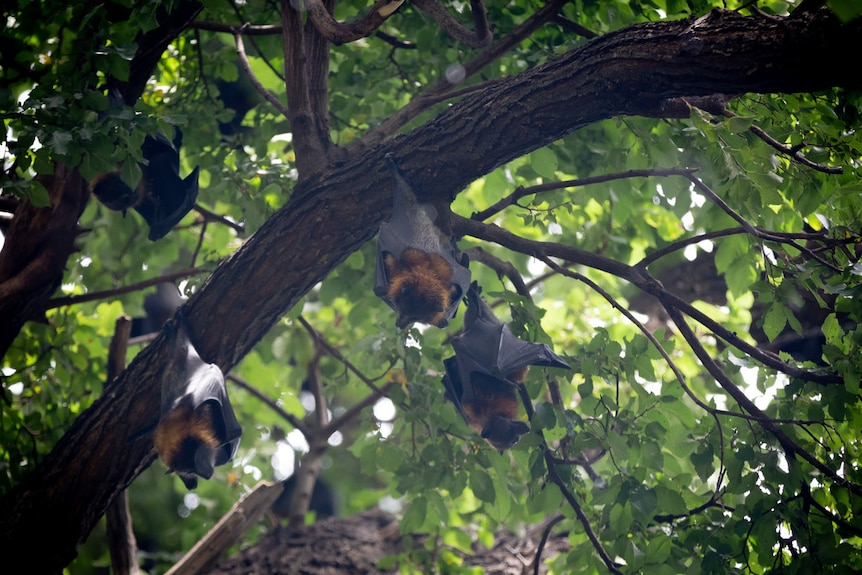 bats hanging from trees