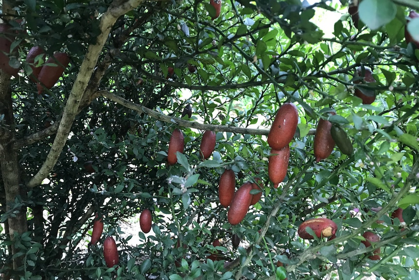 Red coloured finger limes inside the bush, some have scratches on their skin.
