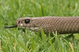 The common brown snake is responsible for about 95 per cent of animal bites