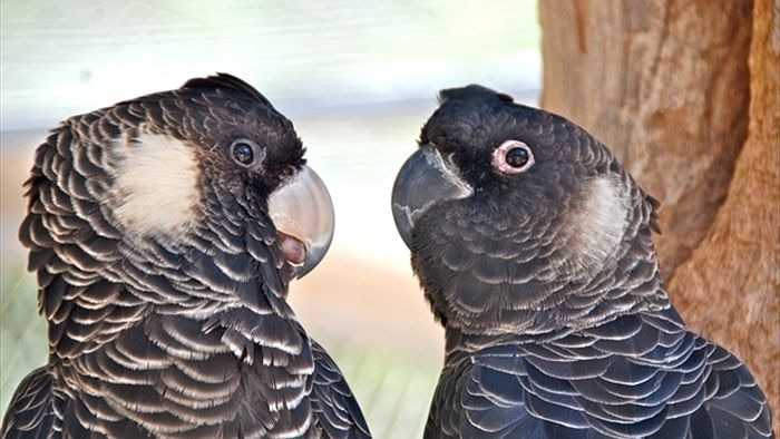 Two black cockatoos looking at each other in a tree