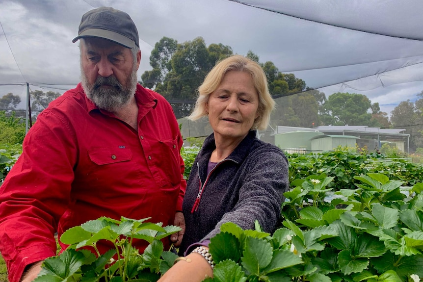 A mand and a woman are standing in a strawberry crop picking berries