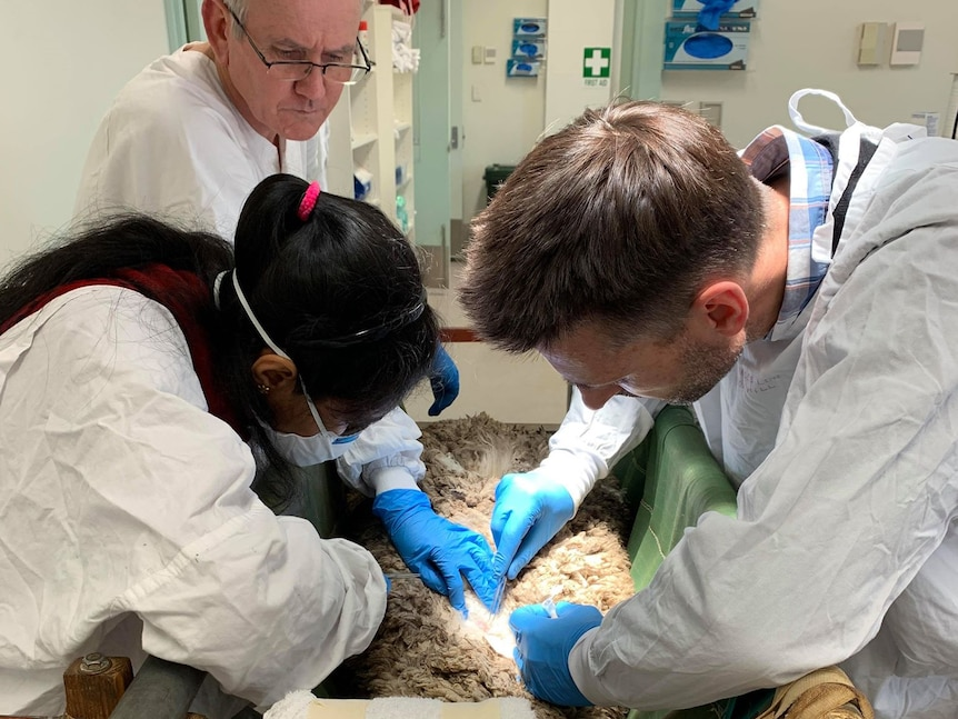 Three people in a science lab removing larvae on a sheep that is lying on a table.