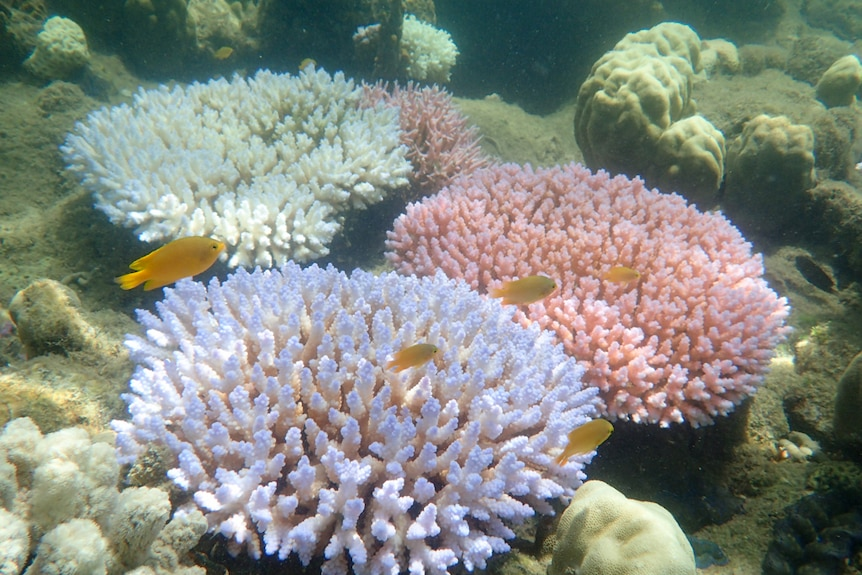 The different colour morphs of Acropora millepora during bleaching