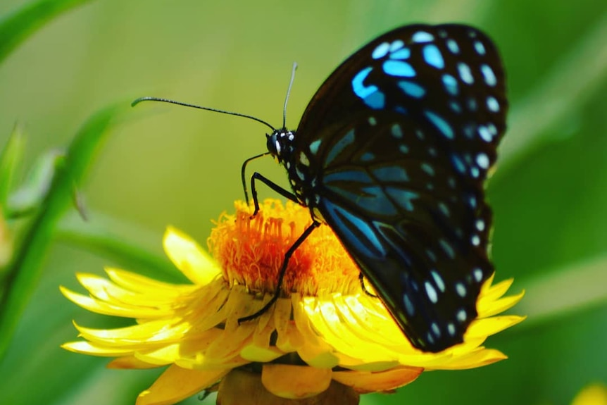 a blue and black butterfly on a bright yellow flower