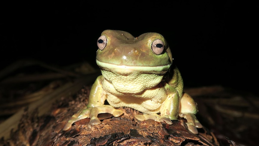 A close-up of a tree frog, dark background