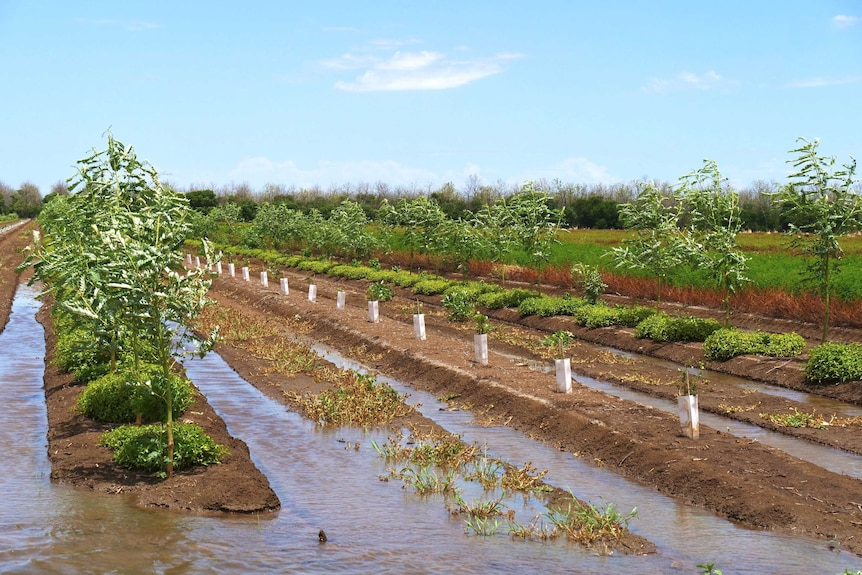 A picture of trees planted in lines next to flooded furrows.