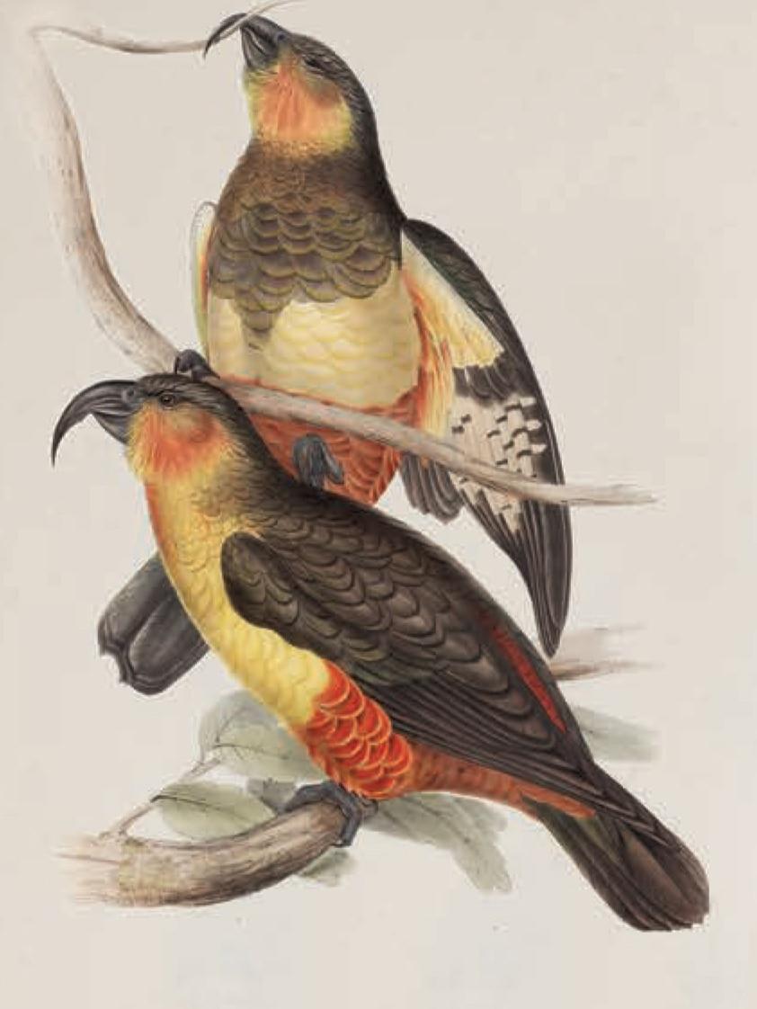 Illustration of a Norfolk Island Kaka.