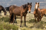 Half a dozen horses stand in dry grass, with blackened hills in the distance revealing the fire's damage.