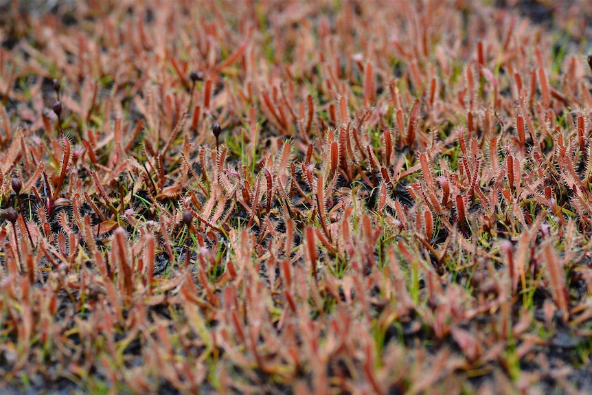 Ground covered in small, stinky-looking red plants called drosera arcturi