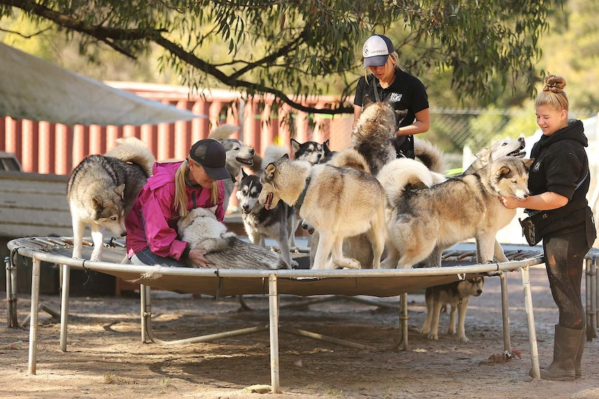 Janelle Wyatt and two of her staff members playing with lots of dogs on a trampoline.