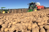 Potatoes everywhere