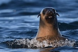 A lone fur seal's head surfaces above the ocean, looks towards camera