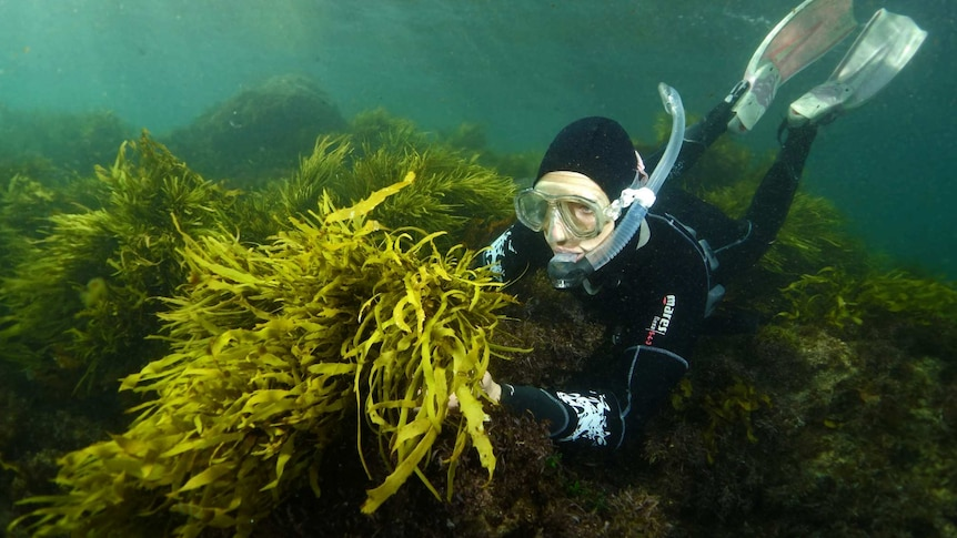 Researcher checking on crayweed