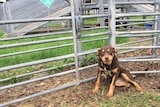 Young kelpie looking at the camera next to a steel fence