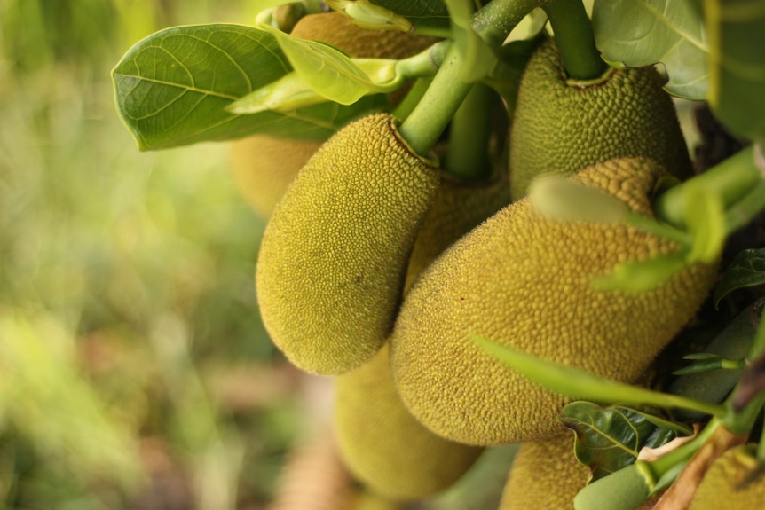 Five bright yellow jackfruits grow on branch with leaves in bright and lush outdoor setting.