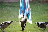 A large black and white bird hangs from a towel on a clothesline, with two other birds on either side, one pulling on its foot.