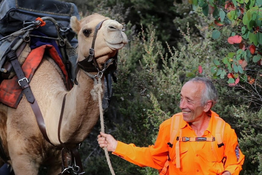 An SES volunteer leads a camel carrying a pack through Tasmanian bushland.