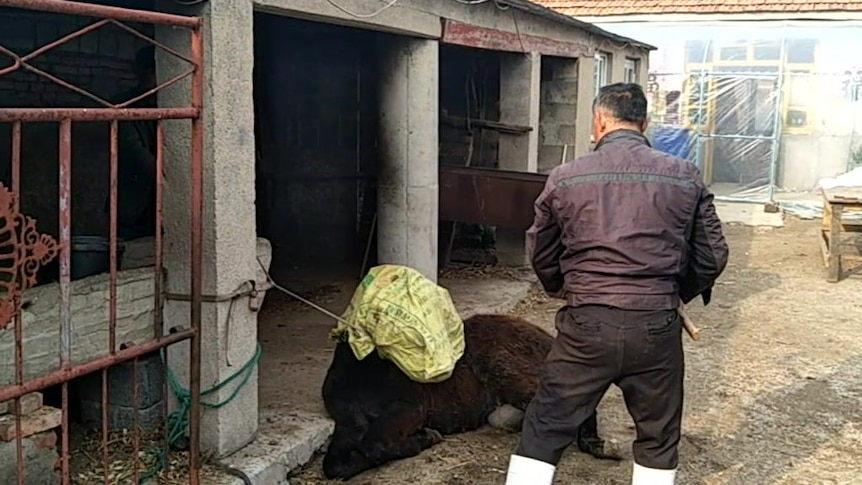 WARNING: GRAPHIC CONTENT: Donkey slaughter at Chinese hide and meat farm