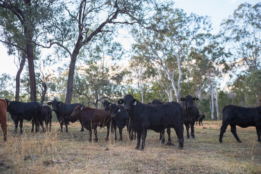 A herd of cattle standing between a grove of trees which form part of a carbon project.