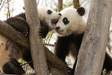 One panda tries to bite another panda as they sit in a tree.