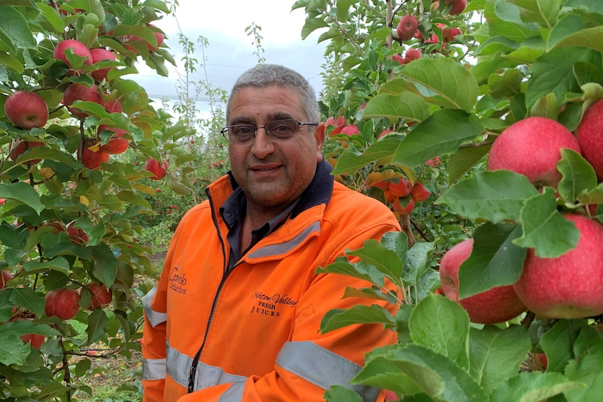 A man in a high-vis shirt surrounded by Pink Lady apples in an orchard.
