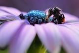 A native Australian bee sits on a purple flower.