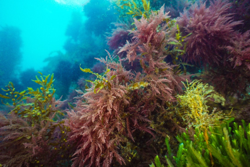 Asparagopsis sea weed under water