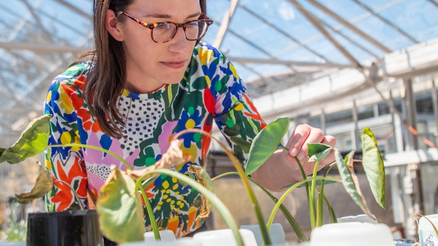 Woman wearing bright coloured tshirt inspects plants in glasshouse