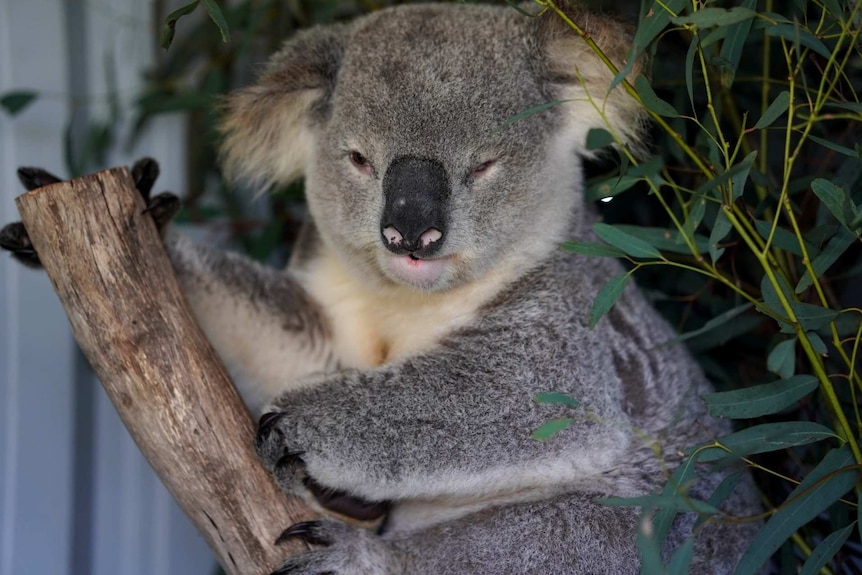 Larry the koala is being cared for after he was injured near Appin.