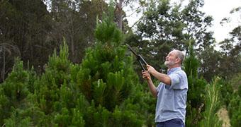 Man prunes a Christmas tree