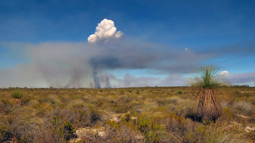 Smoke rises in the distance making a mushroom shaped cloud, contrasting against a blue sky. A grass tree is in the foreground.