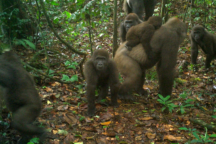 A group of gorillas in a forest