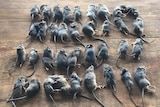 Three rows of dead mice sitting on a table.